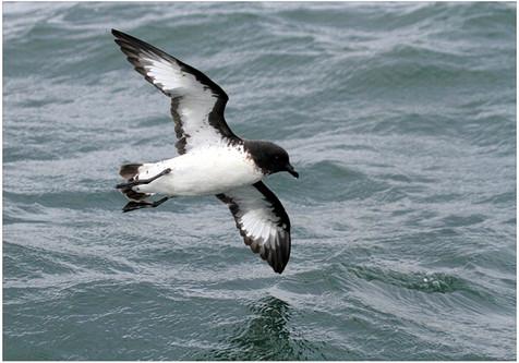 Cape pigeon in flight