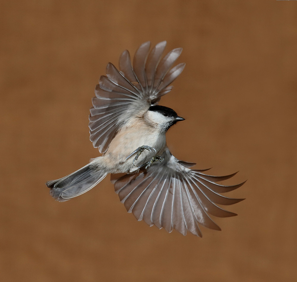 Marsh tit, Poecile palustris, Single bird in flight, Warwickshire, January 2017