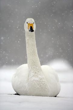 Whooper swan 89.jpg