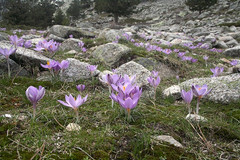 Corsican crocus