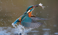 Kingfisher 93156.jpg