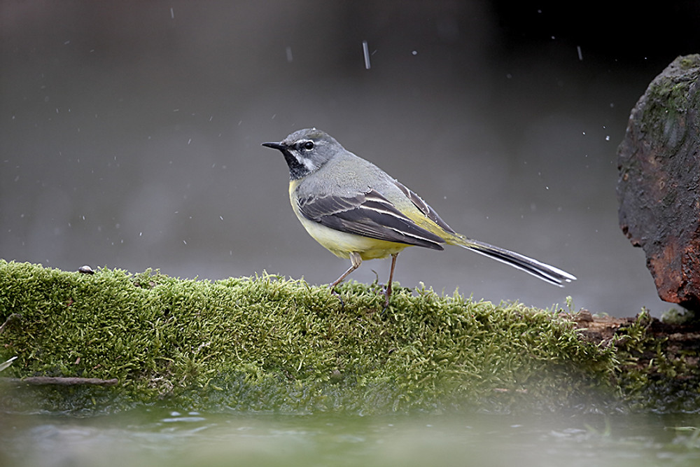 Grey wagtail, Motacilla cinerea, single male by water, Warwickshire, April 2016