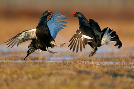 Black grouse D2396.jpg