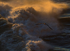 Immature gannet navigating over stormy seas