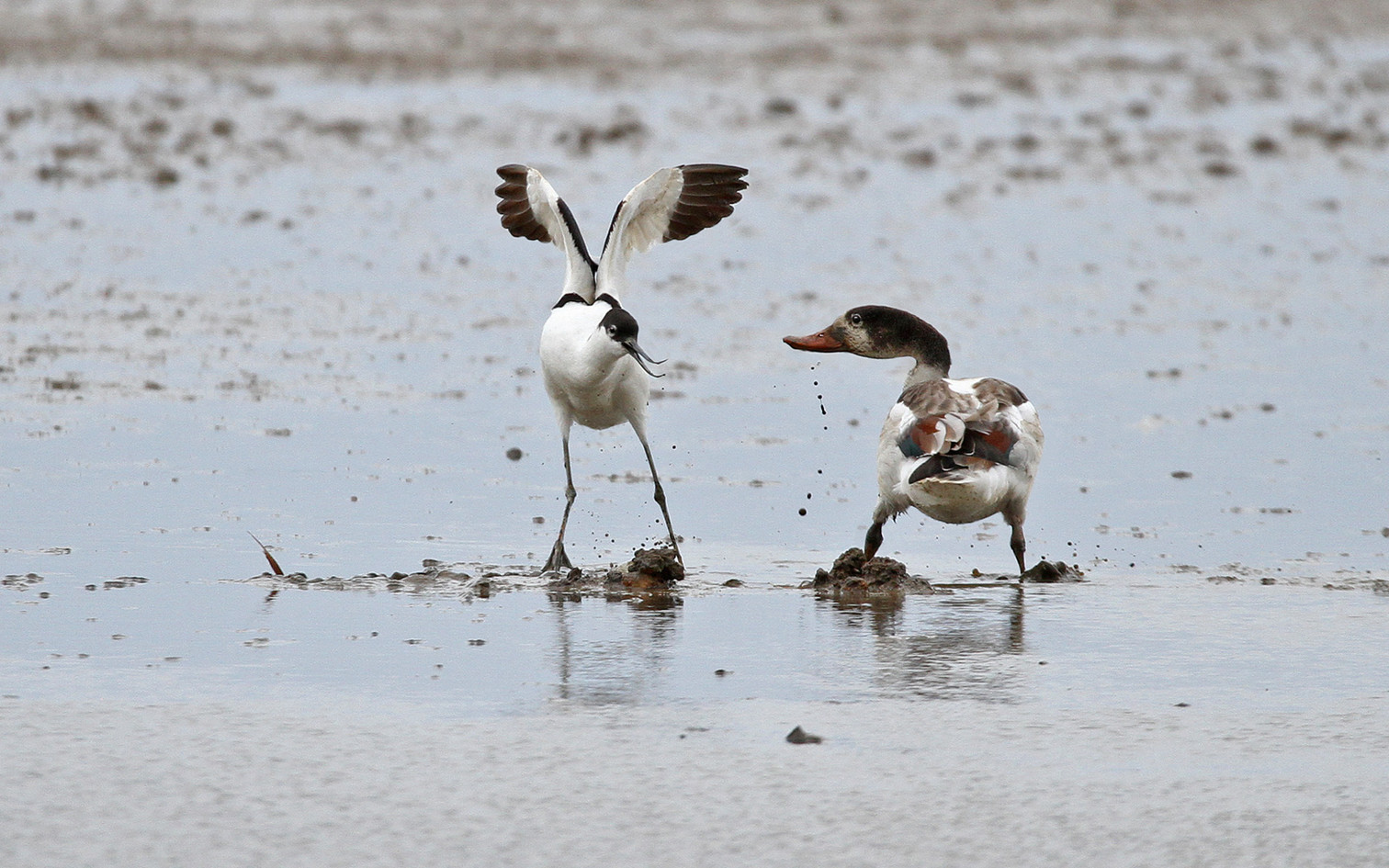 Avocet and shelduck