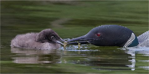 Common Loon (Great Northern Diver) adult feeding naiad to chick