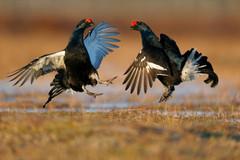 Black grouse