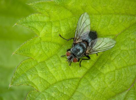 Blue-bottle Fly