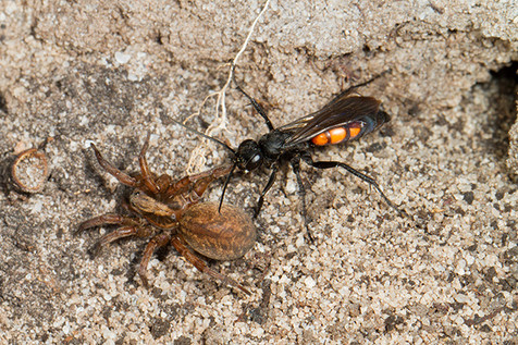Spider hunting wasp, Anoplius via