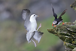 Fulmar and Puffin 1