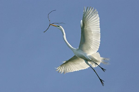 Great egret in flight with twig