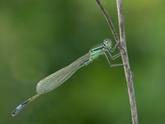 Common blue-tailed