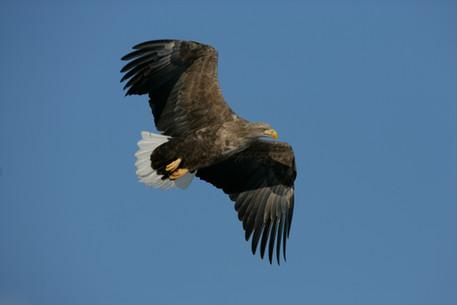 White-tailed sea-eagle 32.jpg