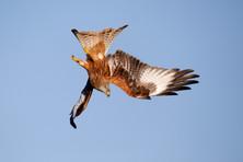 Red kite B0050.jpg