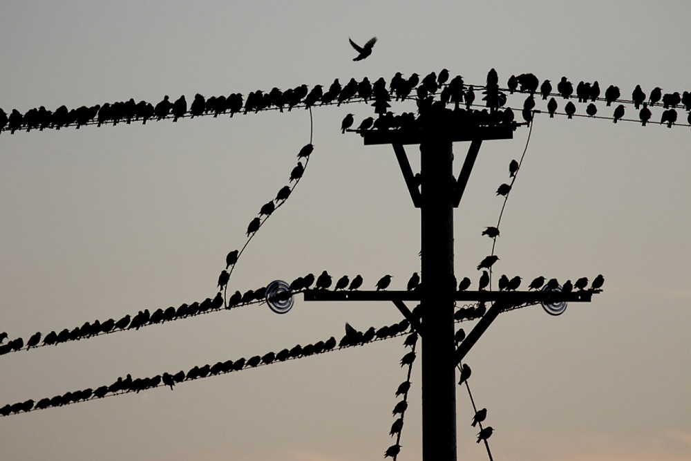 Starling, Sturnus vulgaris. group on telegraph wires gathering to roost, South Uist, Hebrides, September 2015