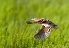 Corncrake in flight