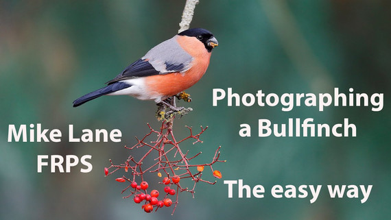 Photographing a Bullfinch