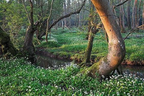 Ramsons beside Avon