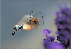 Hummingbird hawkmoth in flight