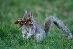 Grey squirrel 80459.jpg