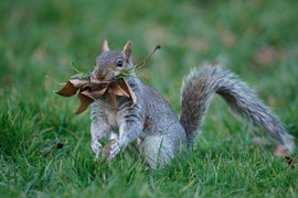 Grey squirrel 80459.jpg