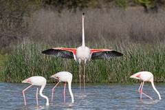 Greater Flamingo ,Phoenicopterus ruber