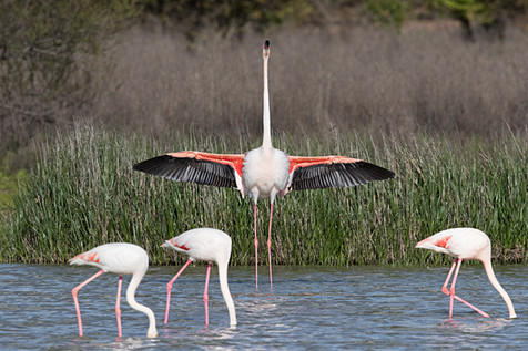 Greater Flamingo ,Phoenicopterus ruber