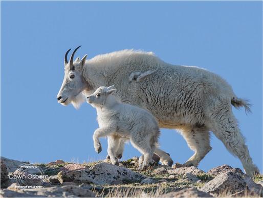 Mountain Goat Nanny & kid