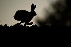 European brown hare B0723.jpg