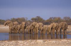 African elephant 7.jpg