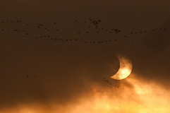 Pink footed geese and partial eclipse