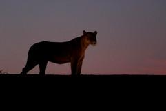 African lion G7613.jpg