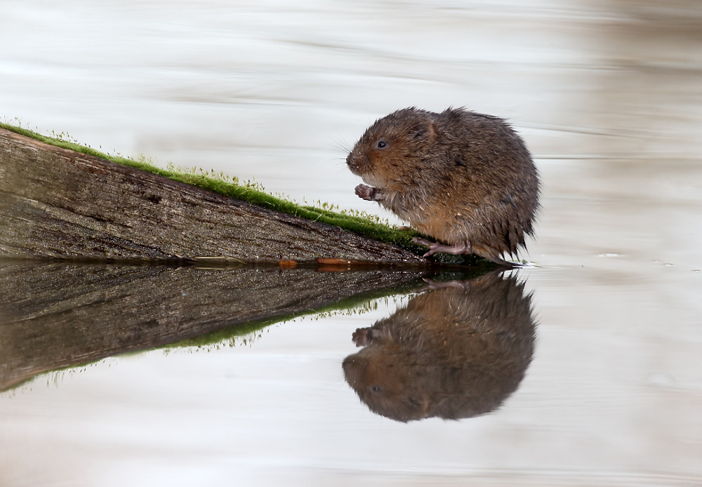 Water vole, Arvicola amphibius, single mammal by water, Warwickshire, December 2015