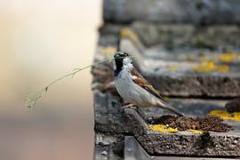 House sparrow D2268.jpg