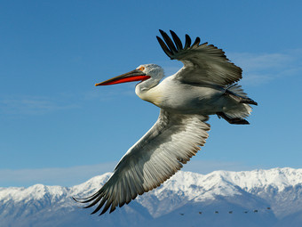 Dalmatian pelican and mountains