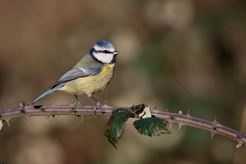 Blue tit, Parus caeruleus, single bird on branch, Warwickshire, January 2016