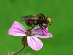 Conopid fly roosting on Herb Robert