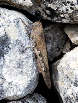Egyption or Giant grasshopper