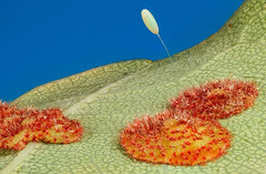 Lacewing egg