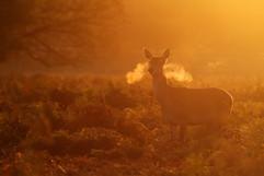 Red deer A0458.jpg