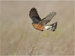 Sparrowhawk male hovering