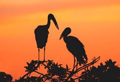 Openbill storks silhouette