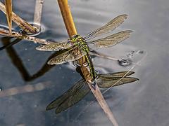 Emperor dragonfly ovipositing