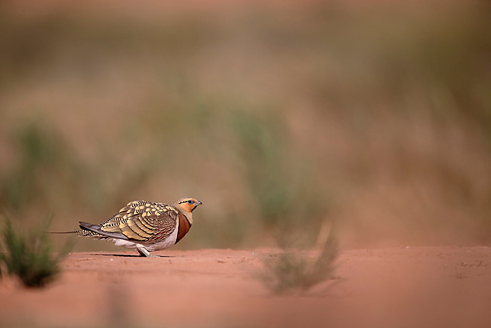 Pin-tailed sandgrouse, Pterocles alchata, Single male on ground, Spain, July 2016