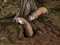 Pine marten and kit