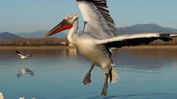 Photographing Dalmatian pelicans