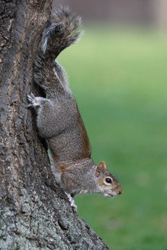 Grey squirrel 80492.jpg