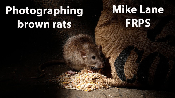 Photographing Brown rats
