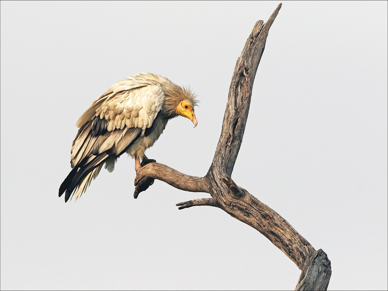 Egyptian vulture at roost