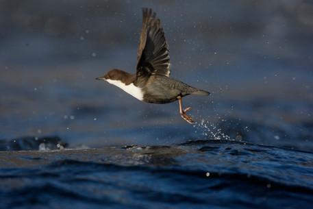 Dipper black-bellied 80819.jpg